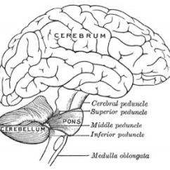 Brain Diagram Pons 2004 Ford Explorer Alternator Wiring Neural Development Embryology Right Lateral View Of Adult Showing
