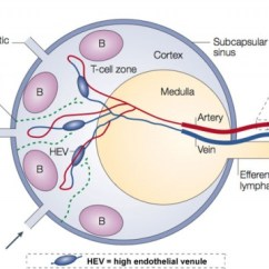 Diagram Location Lymph Nodes Fan Relay Wiring Node Development - Embryology