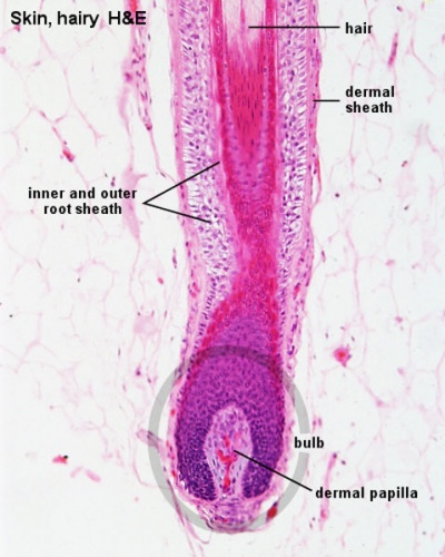 dermis layer diagram full human leg tendons foundations - histology epithelia and skin embryology