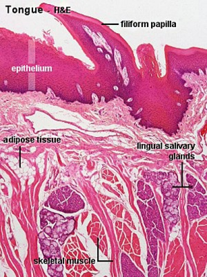 Layers Of Abdominal Wall Diagram F Embryology