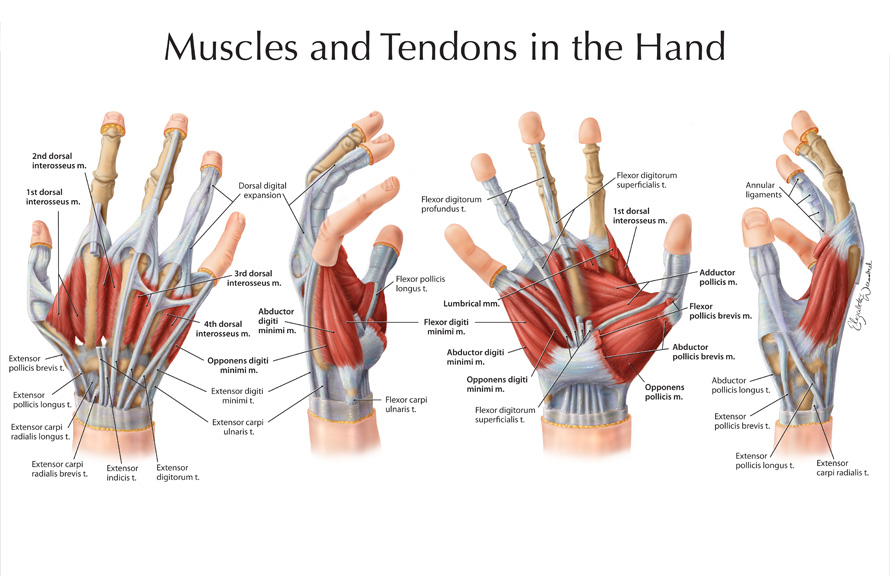 in the thumb ligaments diagram hand diagram ligaments wrist injuries - emcage #8