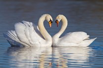 Credit line: © Chris Grady / Alamy Stock Photo Caption: Mute swans forming a heart shape with their necks during courtship.
