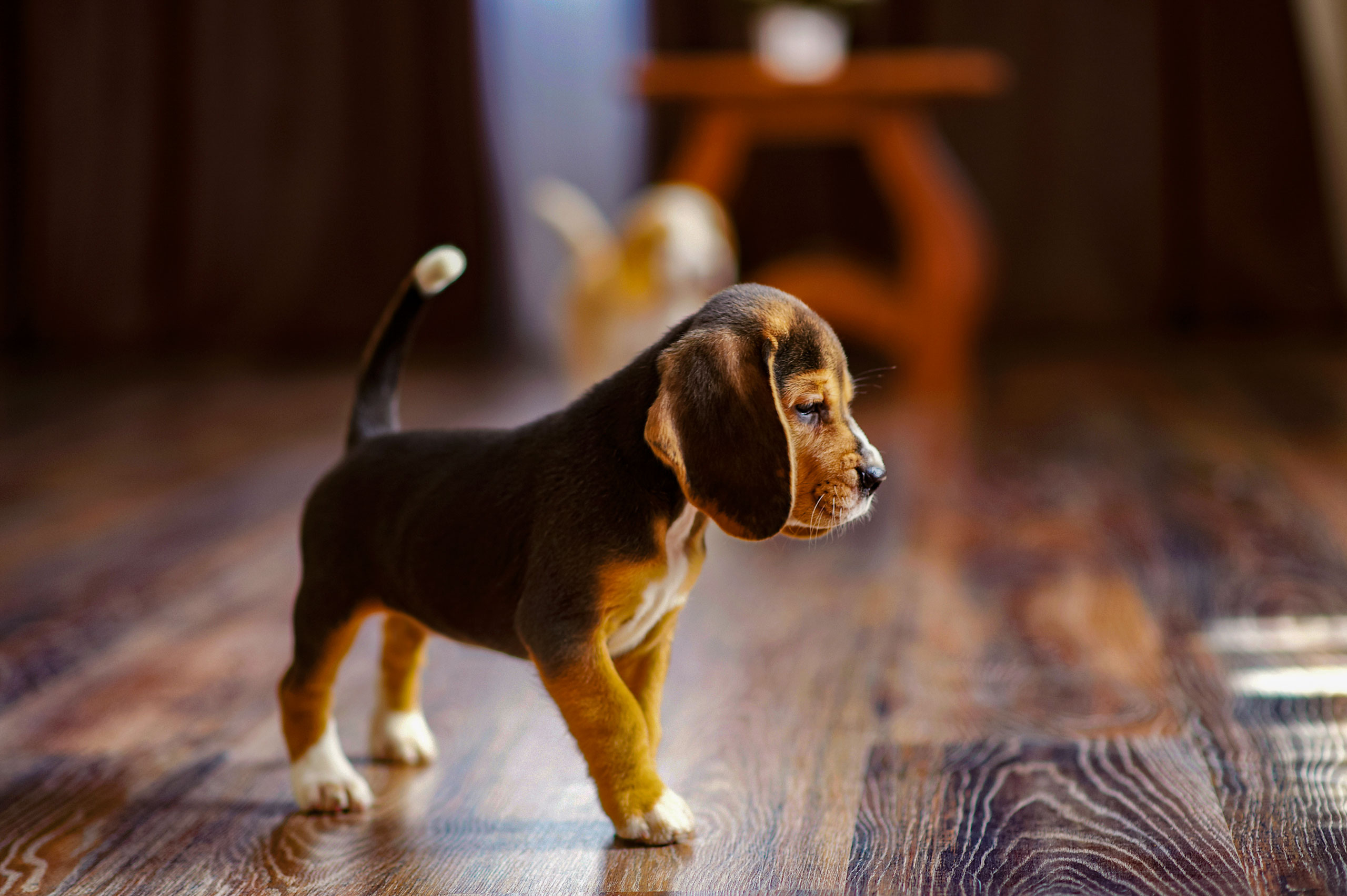 puppy on hardwood floor