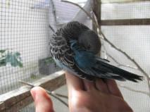 perruches-plumes-voliere-bleu-main