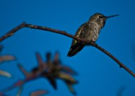 Hummingbird sits on a Branch