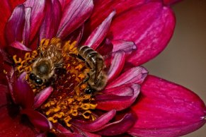 Two Bees, One Dahlia