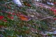 Vince Ferguson - Blurred Robin 02 - Digital Image