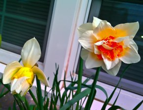 Vince Ferguson - Orange Daffodil 01 - Digital Image