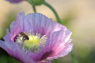Vince Ferguson - Purple Poppy with Bee - Digital Image