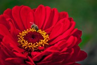 Vince Ferguson - Red Dahlia with Bee-1 - Digital image