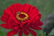 Vince Ferguson - Red Dahlia with Bee-2 - Digital image