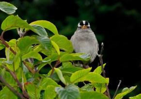 Vince Ferguson - Chickadee 3 - Digital Image