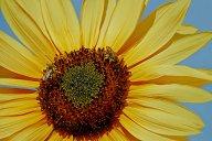 Vince Ferguson - Sunflower with Bees-2 - Digital Image