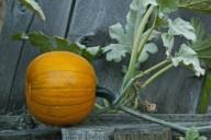 Vince Ferguson - Pumpkin - Digital Image