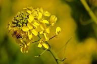 C. Vincent Ferguson - Bee Mustard - Digital Image