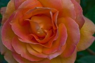C. Vincent Ferguson - Peach Rose Abstract - Digital Image