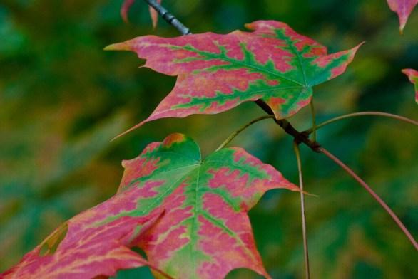C. Vincent Ferguson - Autumn Sugar Maple - Digital Image