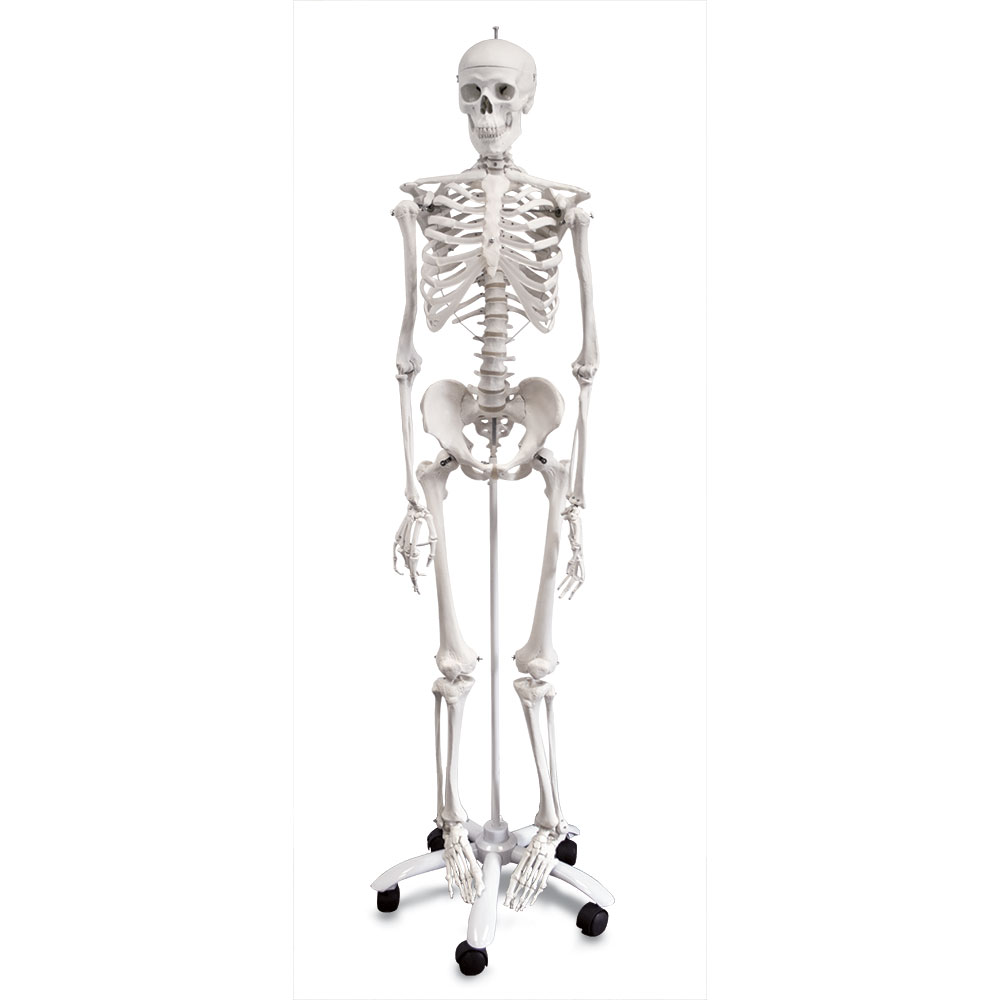 Full Size Skeleton on Stand