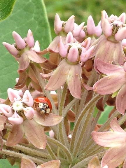 Ladybug-sm
