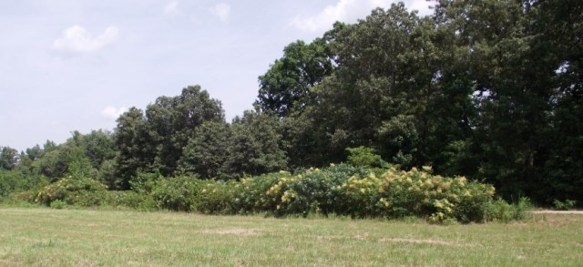 Heavy underbrush helps  preserve the remnants of the Union earthworks west of the railroad