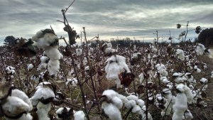 Cotton still grows today on many parts of the battlefield at Bentonville.