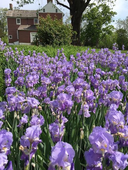 Irises at Ellwood