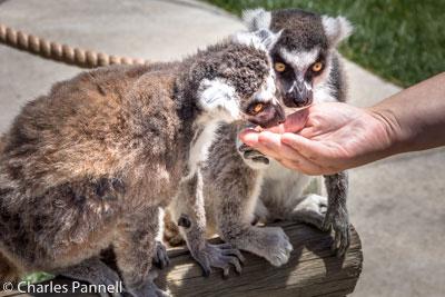 Ring-tailed lemurs get treats at Tanganyika Wildlife Park