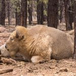 White Bison on the wildlife drive
