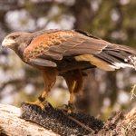 Harris Hawk at the free-flight raptor show in Bearizona wildlife park