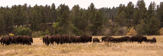 Bison on the Wildlife Loop Road