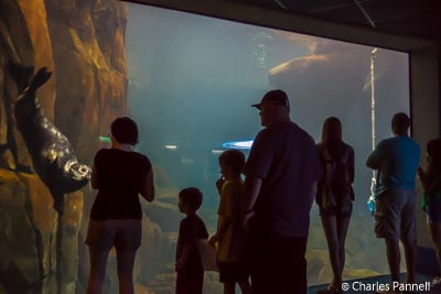 A seal entertains guests in the floor-to-ceiling tank at Moody Gardens
