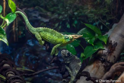 Exotic lizards in the Rainforest Pyramid