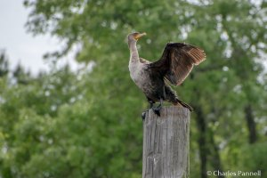 A cormorant dries his wings
