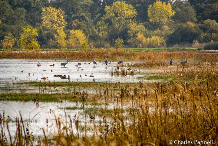 Sandhill Cranes at the Woodbridge Ecological Reserve