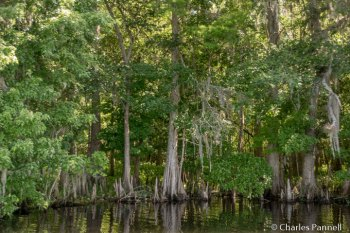 Mangrove on the St. Johns River cruise
