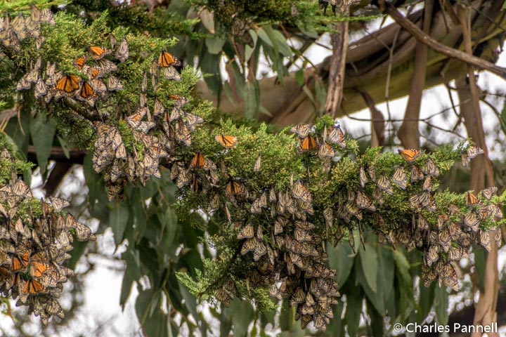 Monarch cluster at Lighthouse Field State Beach