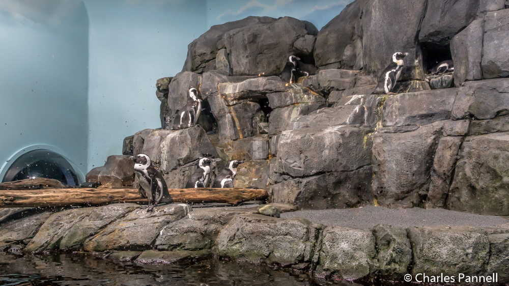 African penguins at Monterey Bay Aquarium