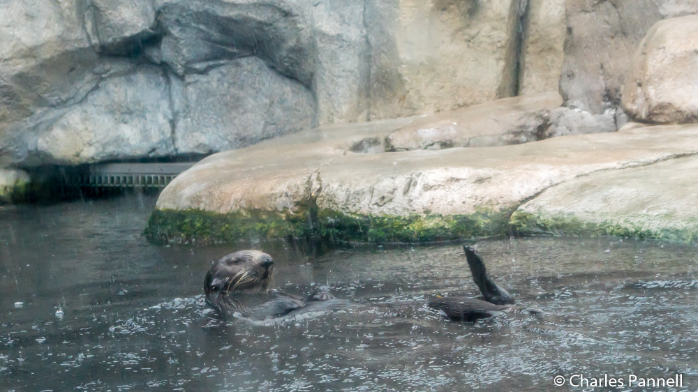 Sea otter at Monterey Bay Aquarium