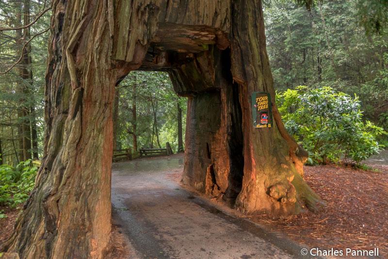Klamath Tour-Thru Tree