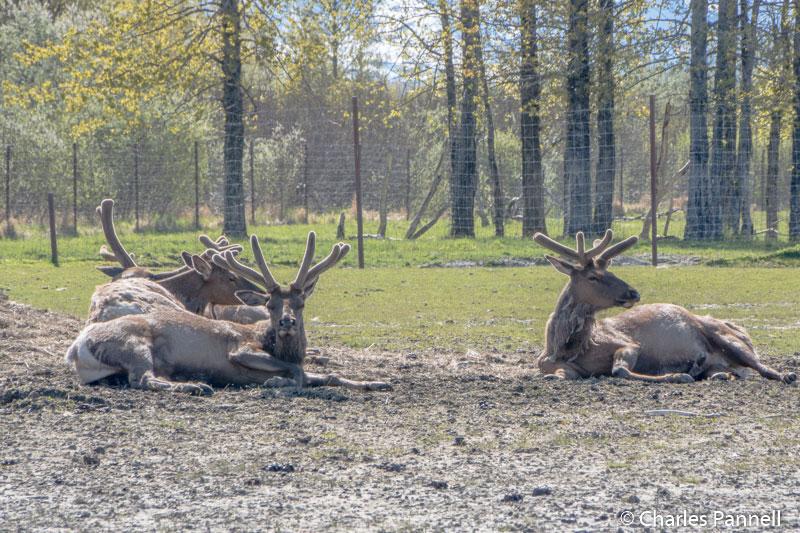 Caribou at the Alaska Wildlife Conservation Center