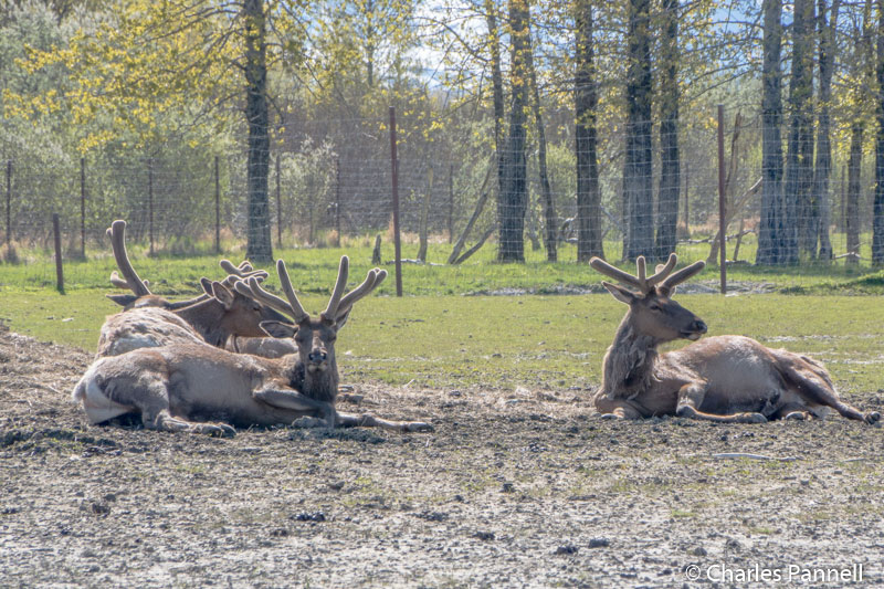 Caribou at the Alaska Wildlife Conservation Center
