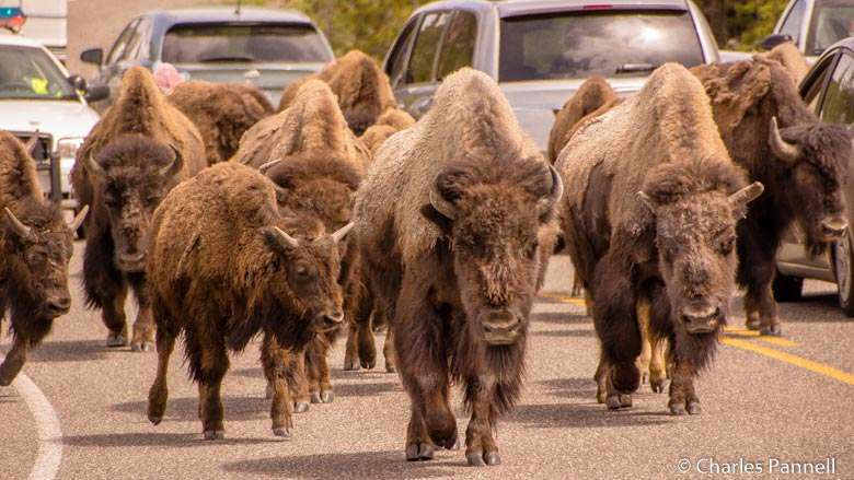 Bison jam in Yellowstone National Park, Wyoming