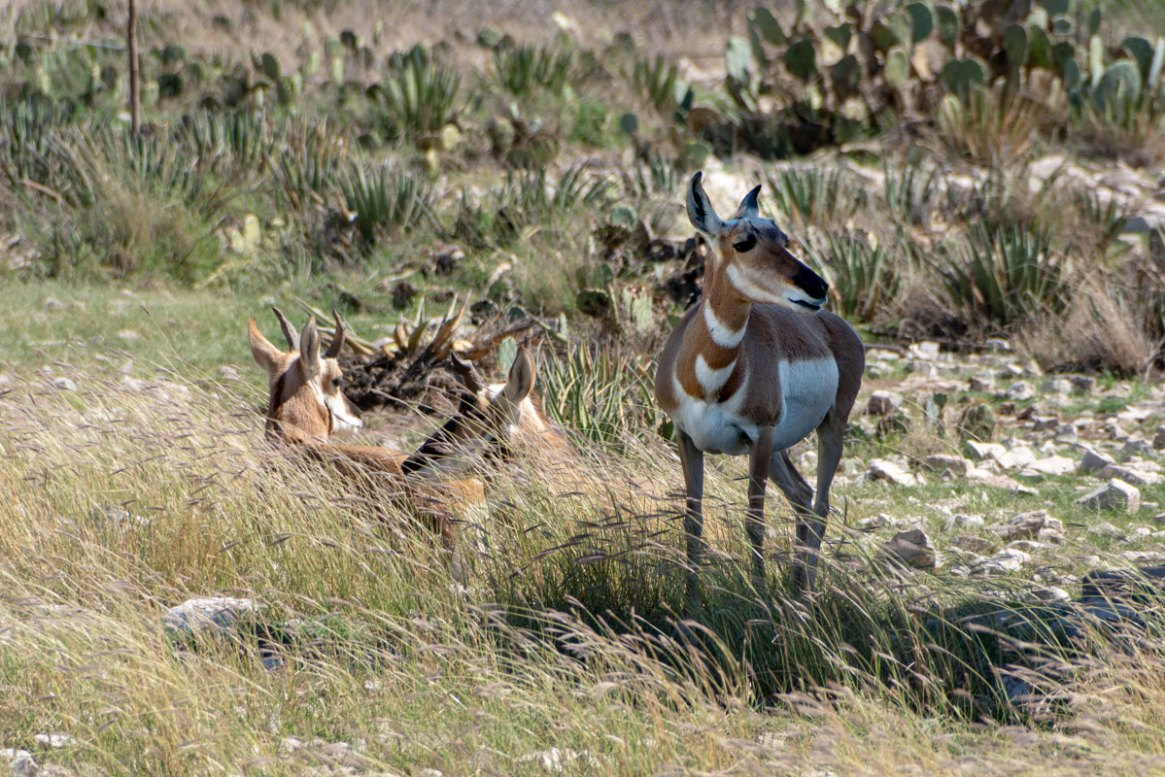 Chihuahuan Pronghorn at the Living Dessert and Zoo
