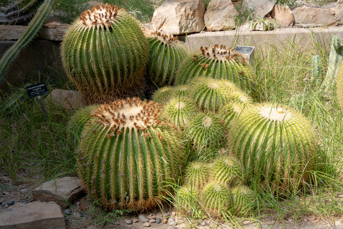 Golden Barrel cactus at the Living Desert Zoo and Gardens in Carlsbad, New Mexico