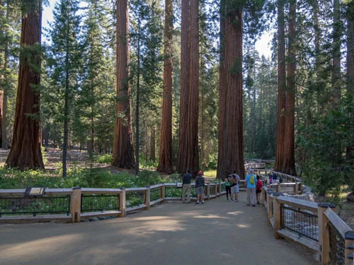 Photo of the start trail thruogh Mariposa Grove in Yosemite National Park