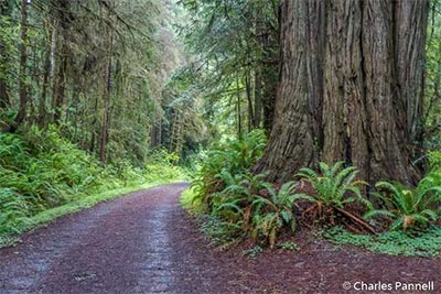 Californias Accessible Coastal Redwoods