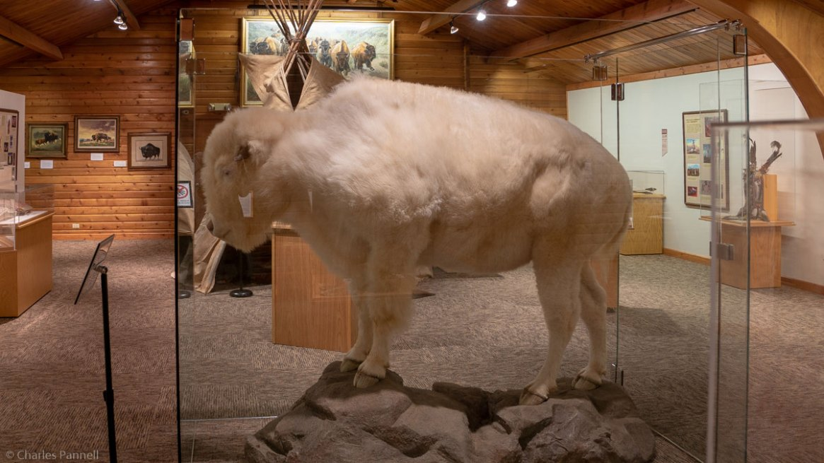 "White Buffalo on display at tne National Buffalo Museum, Pop art of a woman with a tear in her eye exclaiming ""Oh Barry, we're out of mustard"" in the International Mustard Museum - a unique US museum"
