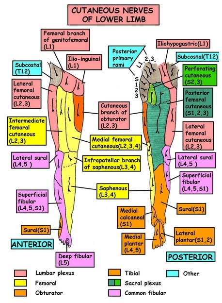 medial lower leg muscles diagram wiring for ignition switch on lawn mower femoral nerve (l2- l4) | emg review