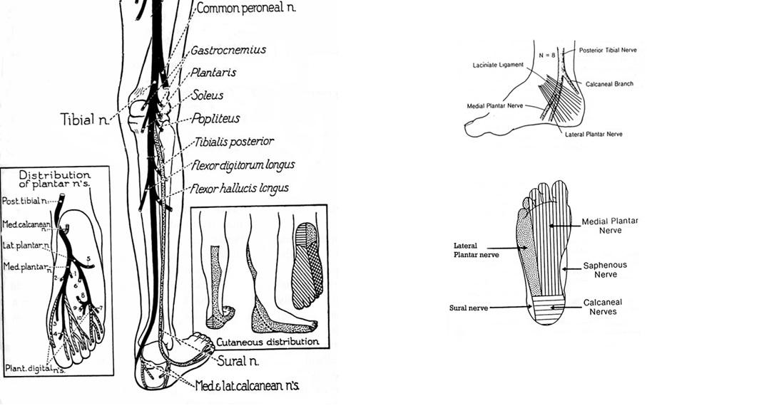 Tibial Nerve (L5