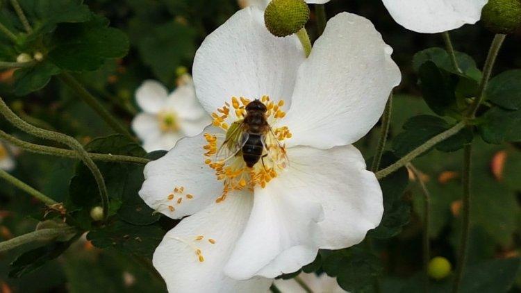 Осенняя пчела в ботаническом саду Линца. Эмигрировать не планирует.